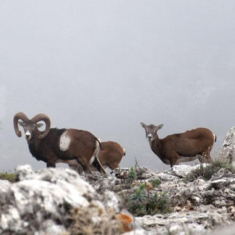 Mufloni, Monte Corrasi, Oliena